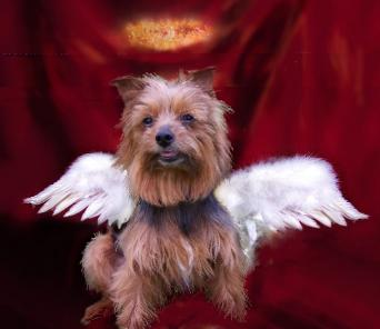 Dog Wings, Wings, Yorkie Wings,